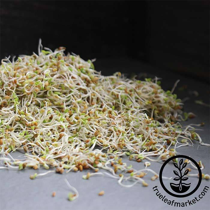 Sandwich Blend (organic) - Sprouting Seeds