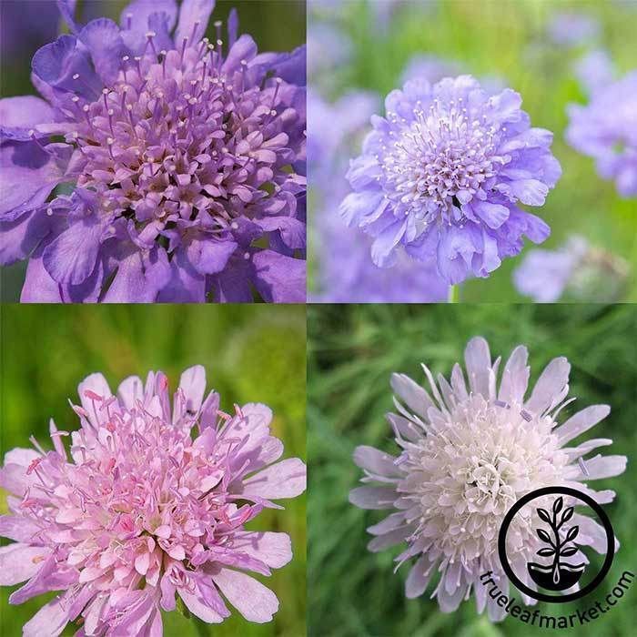 HiGro Scabiosa Mix Seeds