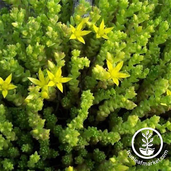 Sedum Acre Golden Carpet Seed