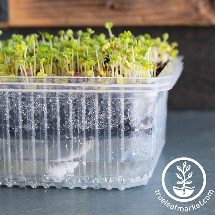 Self-Watering Growing Trays with microgreens