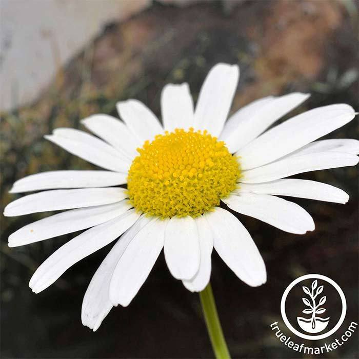Non GMO Planting Daisy Flower Seed