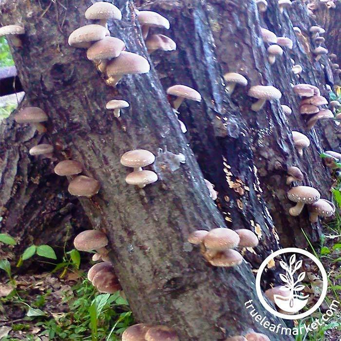 Mushroom Log - Shiitake Growing