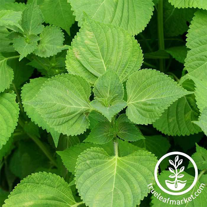Shiso Seeds (Perilla) - Green