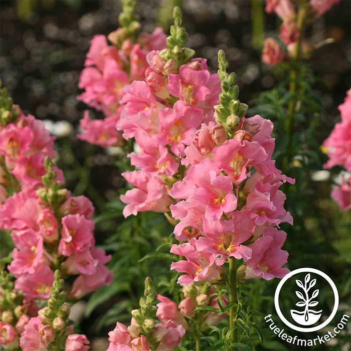 Snapdragon Floral Showers Series Deep Rose Seed