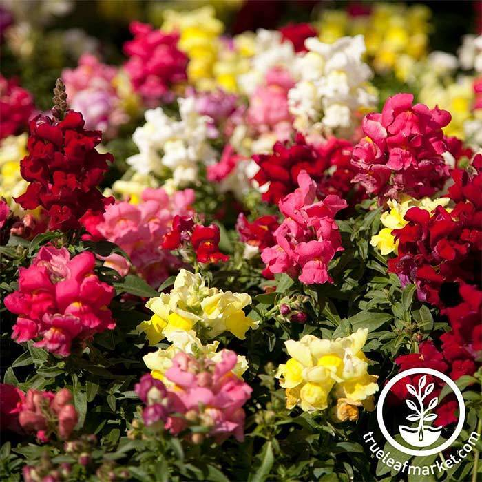 Snapdragon Floral Showers Series Mix Seed