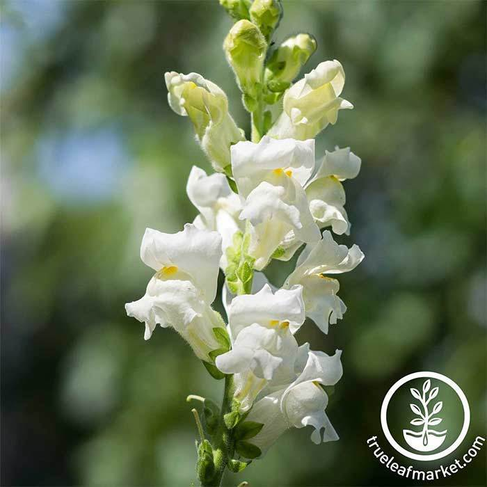 Snapdragon Rocket Series White Seed