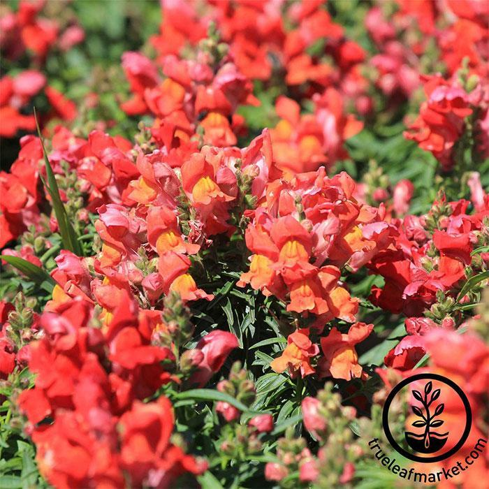 Snapdragon Seeds - Sonnet Series - Bronze