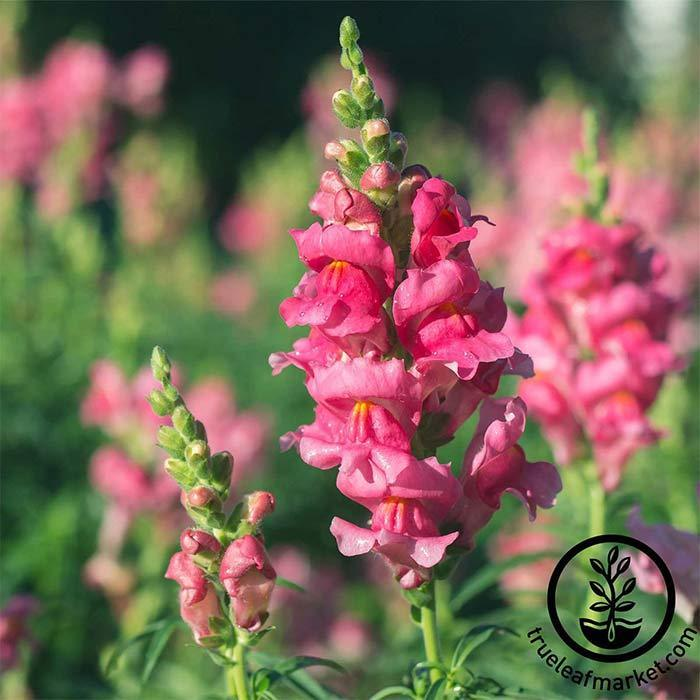 Snapdragon Sonnet Series Rose Seed