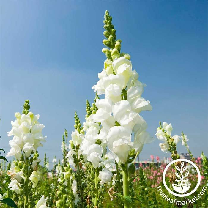Snapdragon Sonnet Series White Seeds