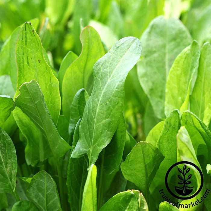 Sorrel - Large Leaf Microgreen and Herb Seeds