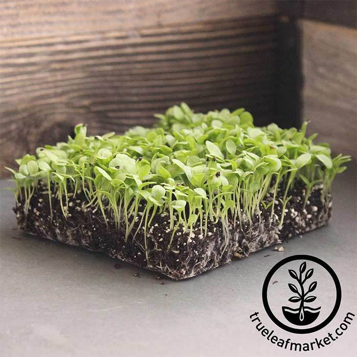 Sorrel - Large Leaf - Microgreens Seeds
