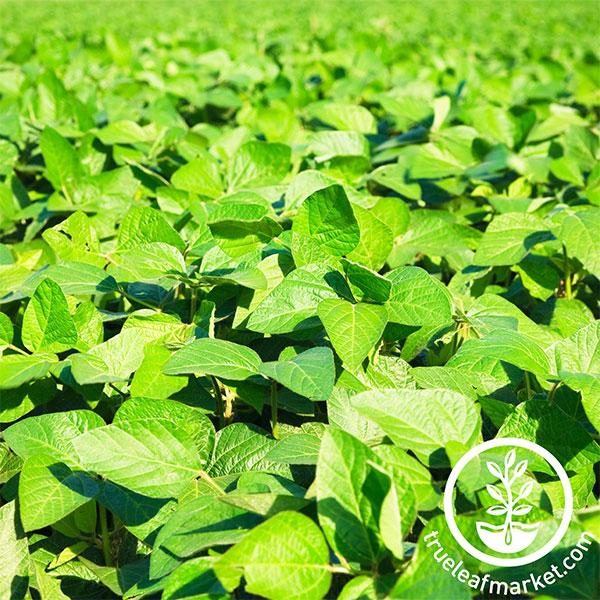 Soybean - Organic - Cover Crop Seeds