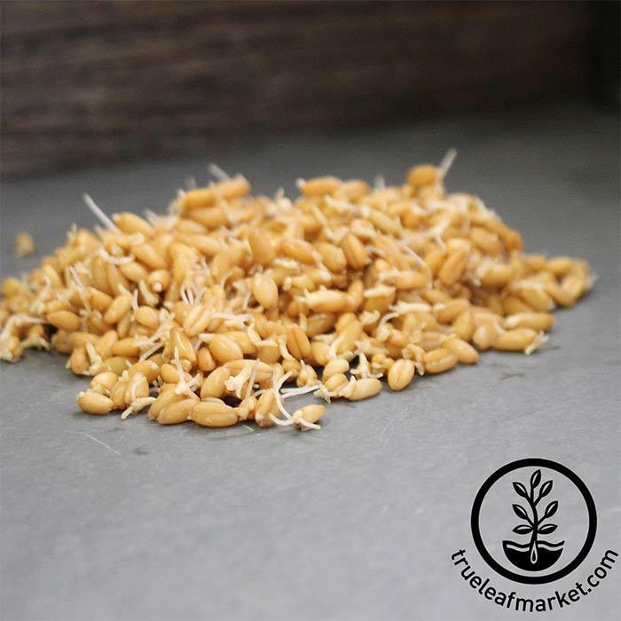 Spelt (organic) - Sprouting Seeds