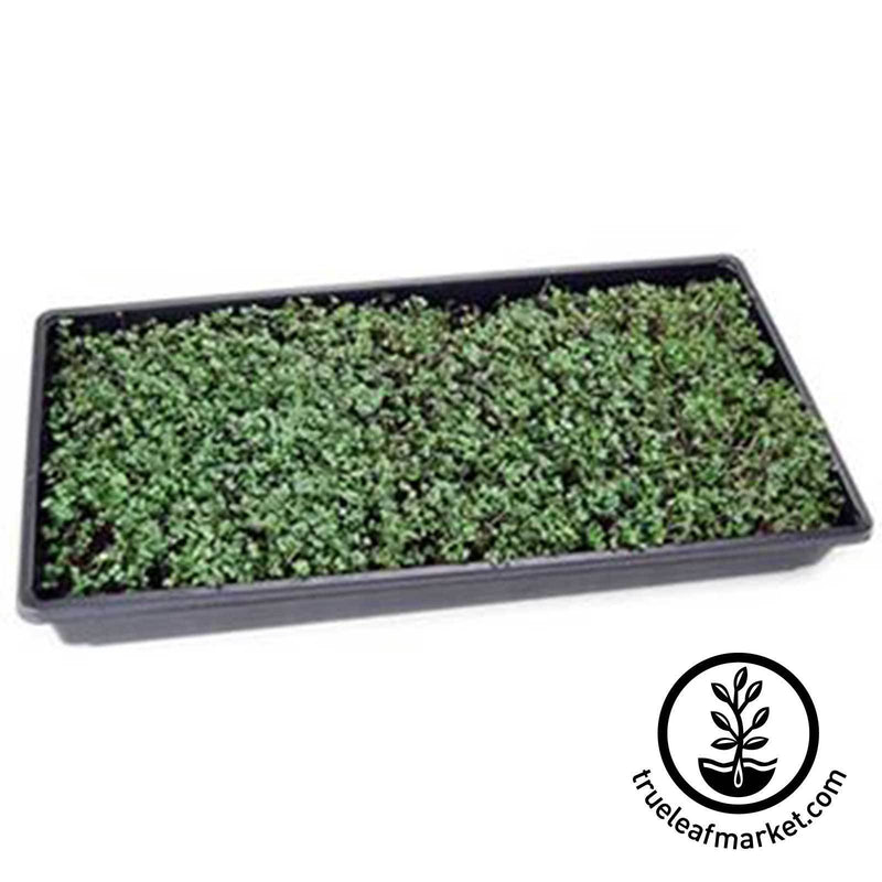 Non-GMO Spicy Microgreens Mix Growing