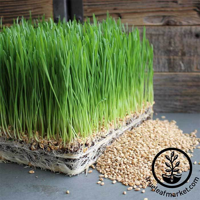Wheat - Hard Red Spring (organic) - Grass Seeds