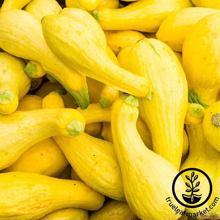 Edible Squash Seeds – Quotes of the Day
