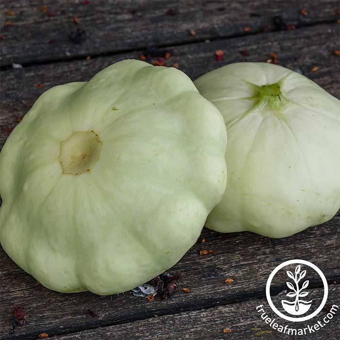 Squash Summer Early White Bush Scallop Seed