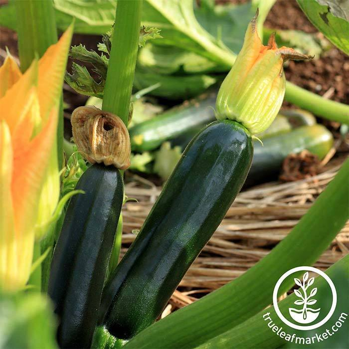 Squash Summer Zucchini Black Beauty Organic Seed