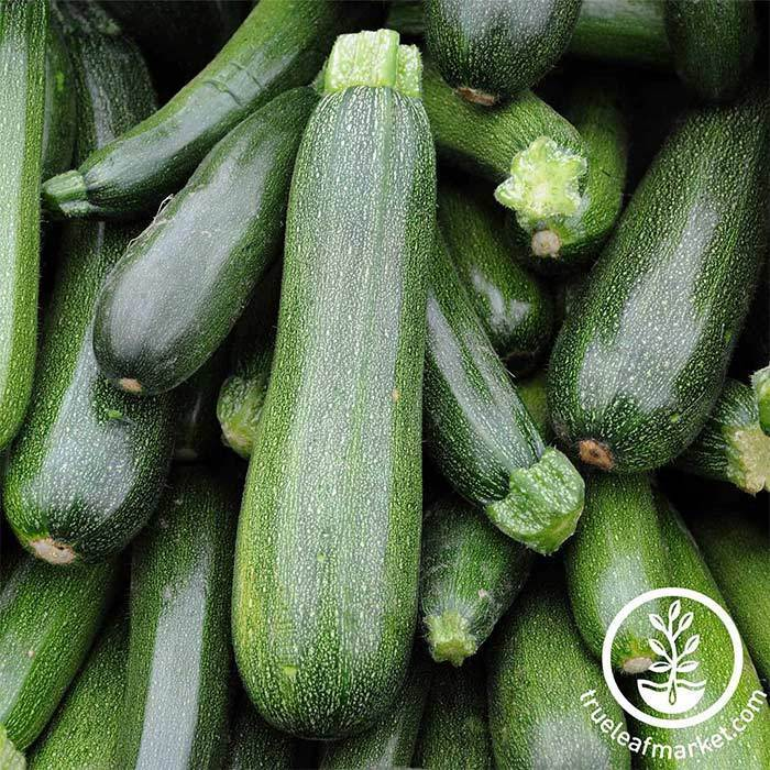 Squash Summer Zucchini Spineless Beauty Hybrid Treated Seed