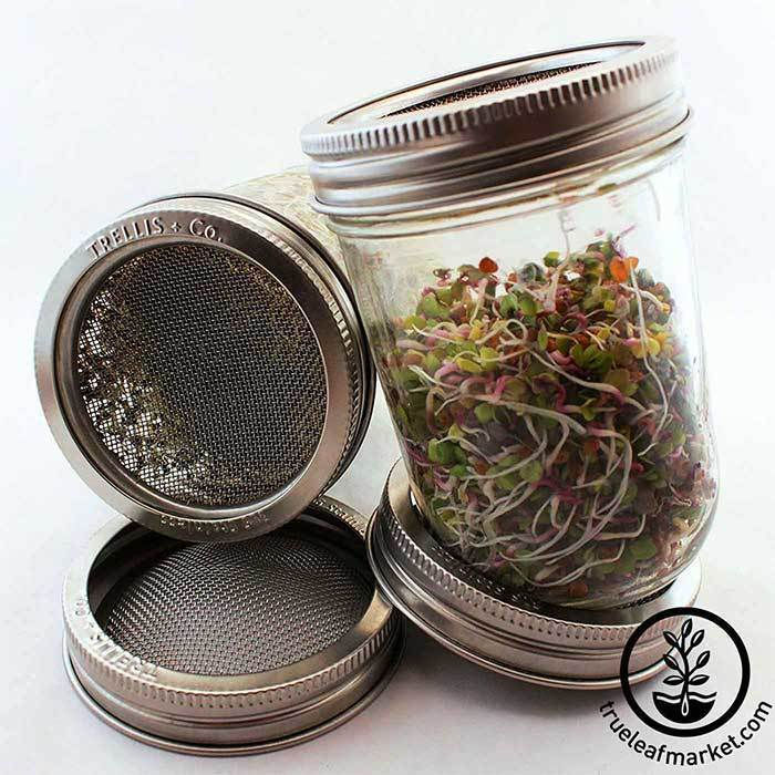 Sprouts in jar
