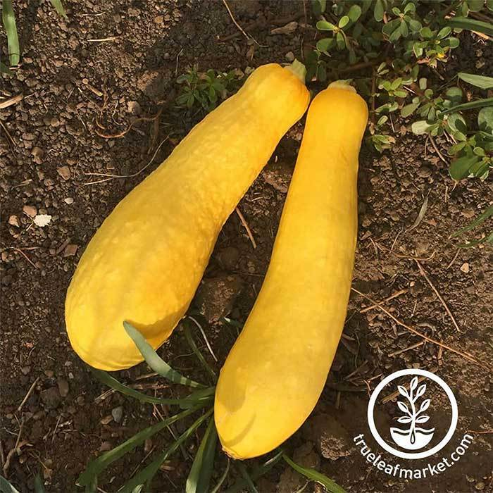 Squash Summer Early Prolific Straightneck Seed