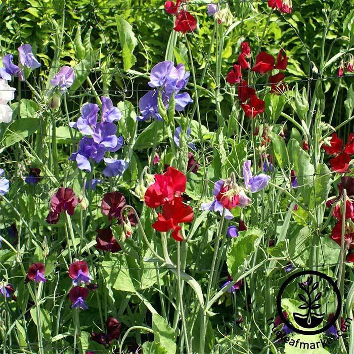 Royal Family Mix - Sweet Pea