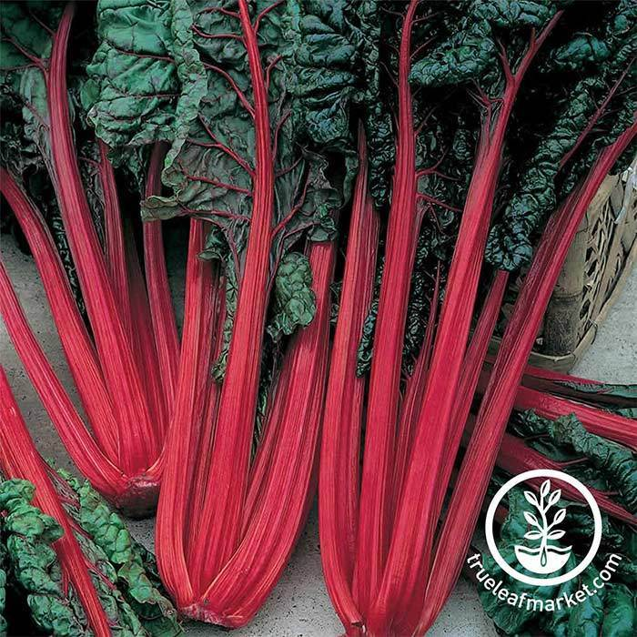 Swiss Chard - Ruby Red Garden and Microgreen Seed