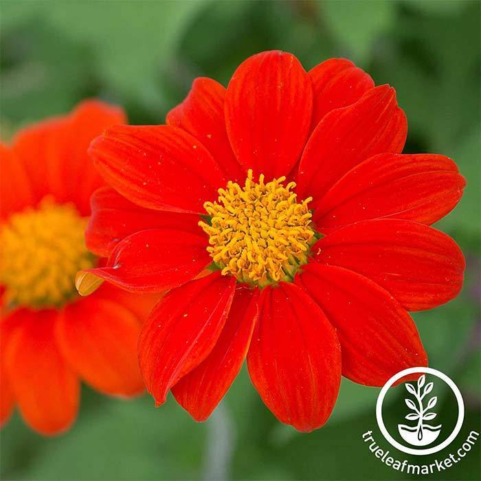 Non GMO Tithonia Flower Seed