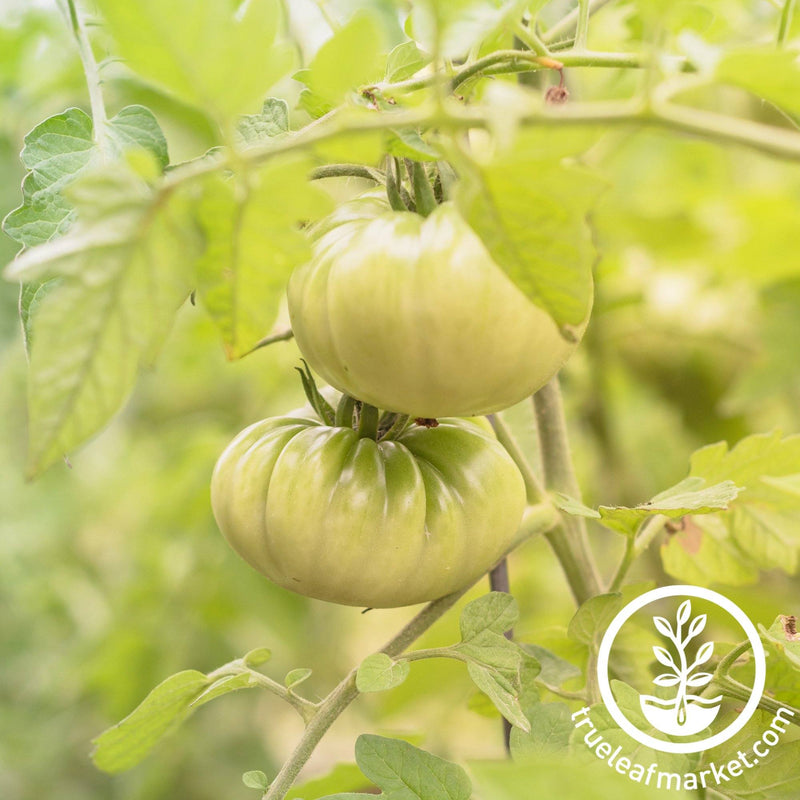 Tomato Seeds - aunt rubys green german