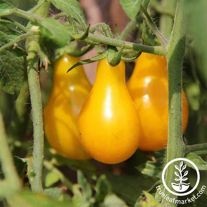 Tomato Yellow Pear Organic Seed
