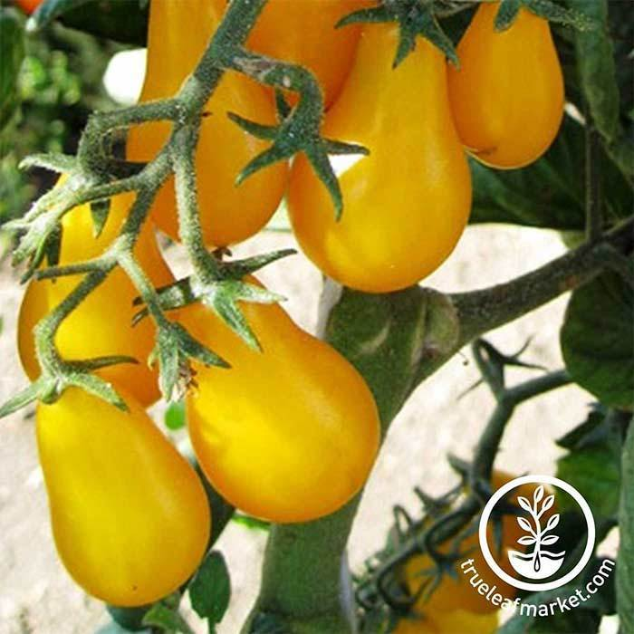 Tomato - Yellow Plum Garden Seeds