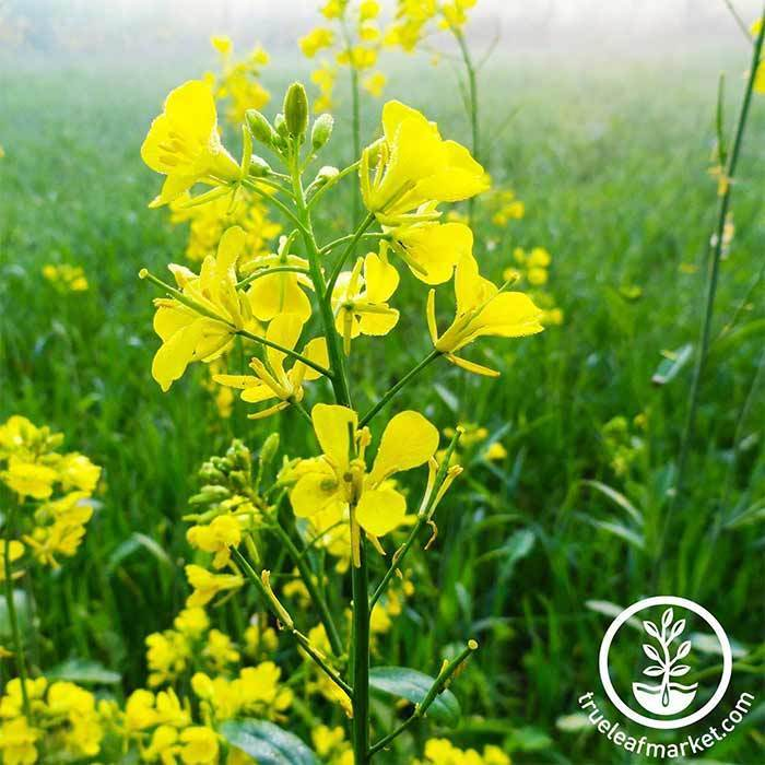 Mustard Seeds - Trifecta Power Blend - Mighty Mustard® - Cover Crop