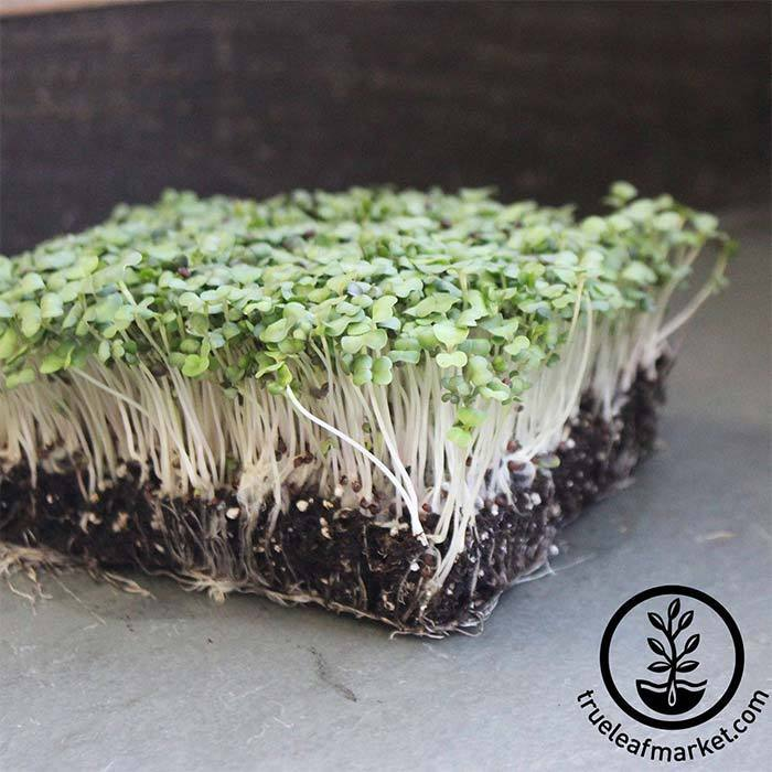 Turnip - Purple Top White Globe - Microgreens Seeds
