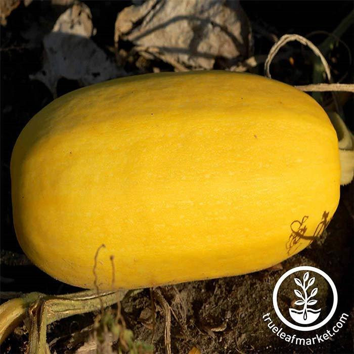 Organic Vegetable Spaghetti Squash Seeds