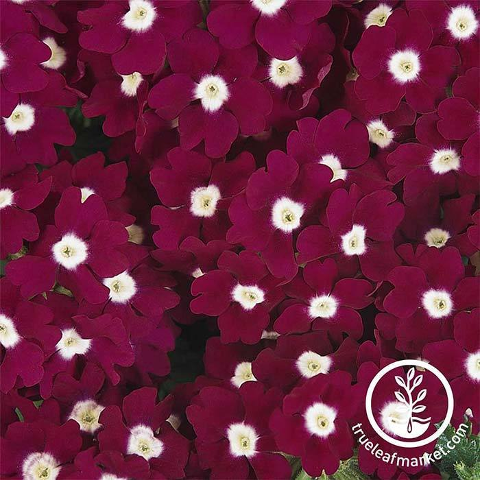 Verbena Quartz XP Series Burgundy Eye Seed