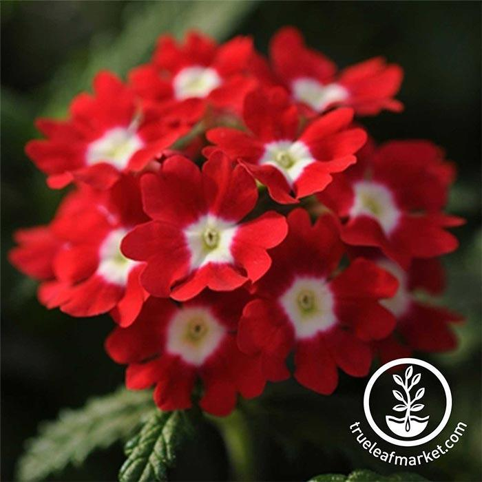 Verbena Quartz XP Series Red with eye Seed
