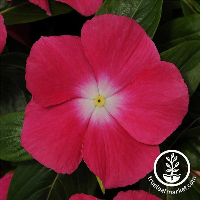 Vinca Mediterranean XP Series Rose Halo Seed