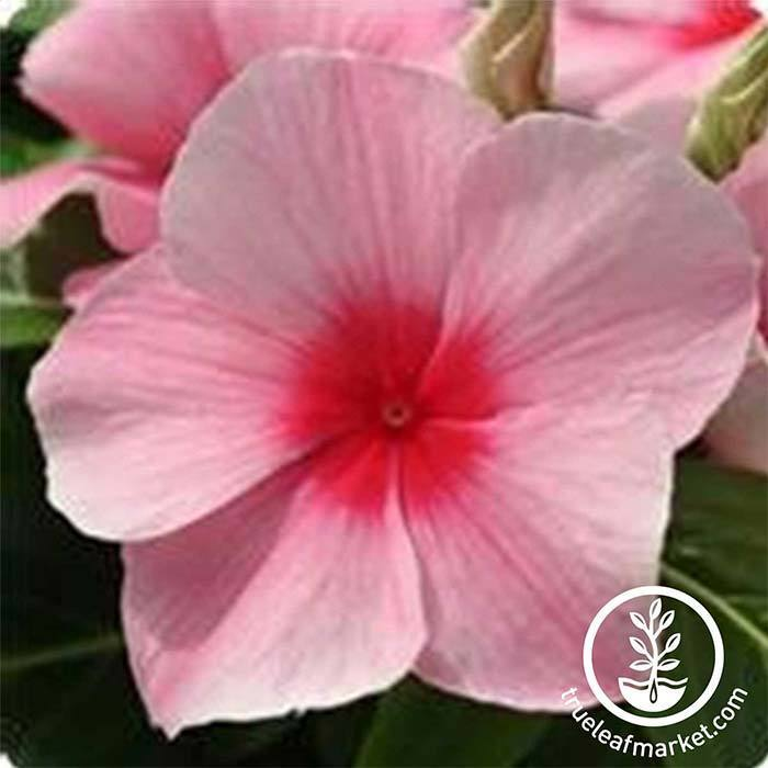 Vinca Mediterranean XP Series Strawberry Seed