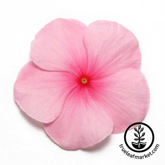 Vinca Pacifica XP Series Blush Seed