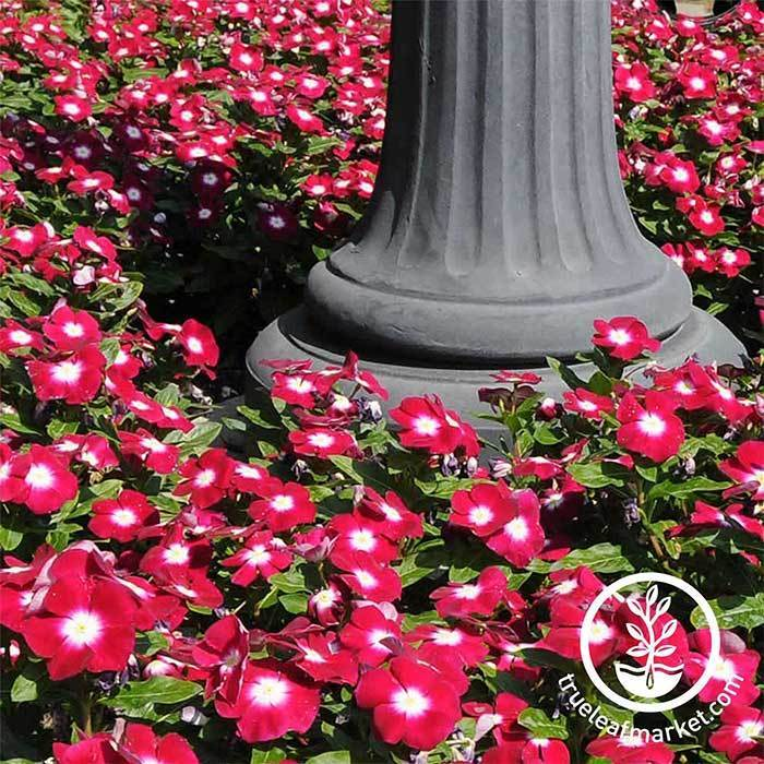 Vinca Pacifica XP Series Burgundy Halo Seed
