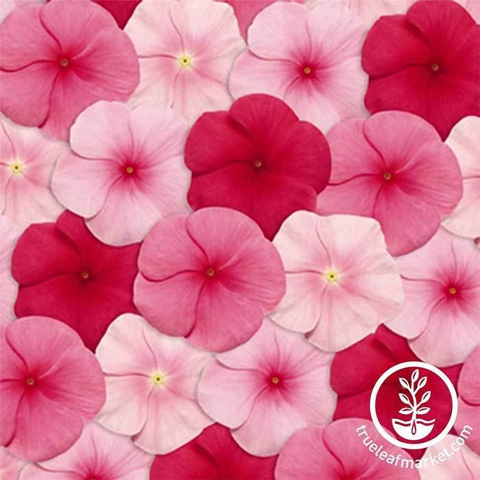 Vinca Pacifica XP Series Lipstick Mix Seed