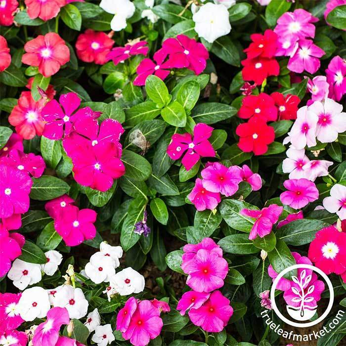 Vinca Pacifica XP Series Mix Seed
