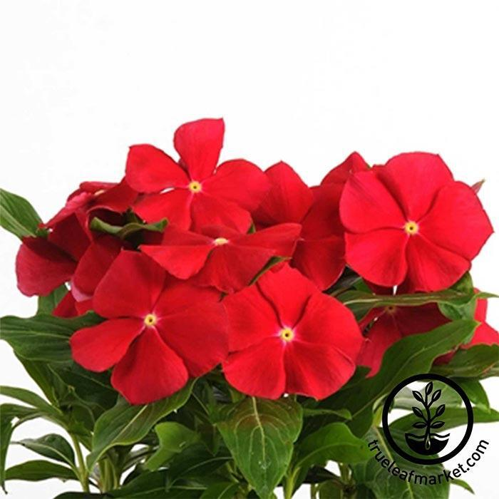 Vinca Pacifica XP Series Really Red Seed