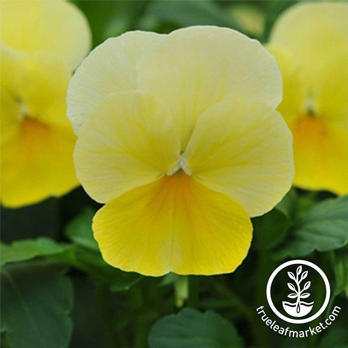Viola Seeds - Sorbet Series - Lemon Chiffon