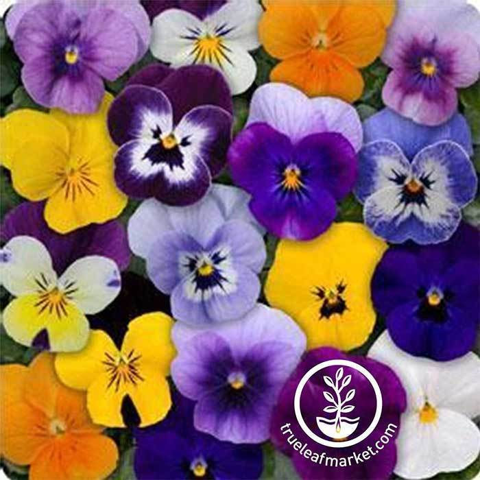 Viola Seeds - Sorbet Series - Mix