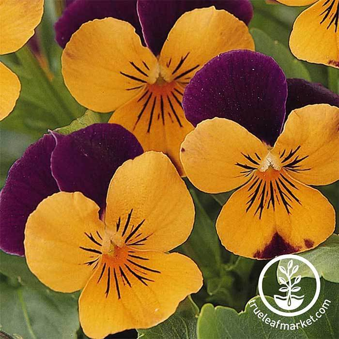 Viola Seeds - Sorbet Series - Orange Jump Up