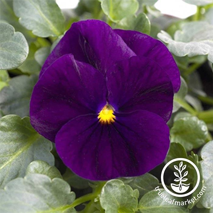 Viola Seeds - Sorbet Series - Purple