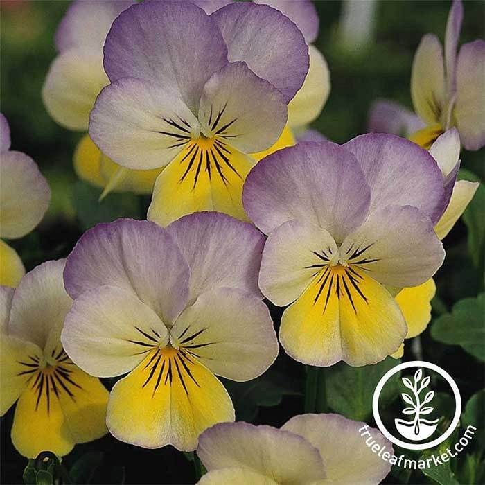 Viola Seeds - Sorbet Series - Yellow Frost