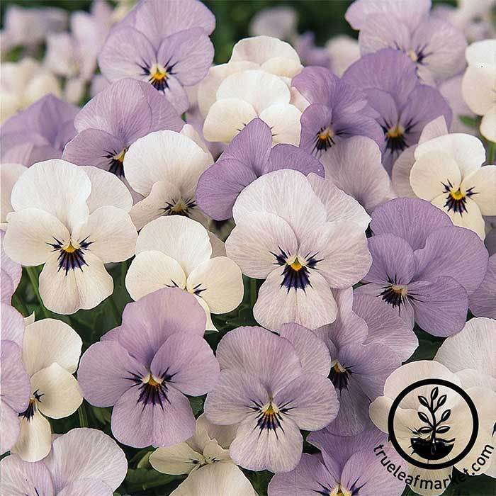Viola Seeds - Sorbet Series - Yesterday Today Tomorrow