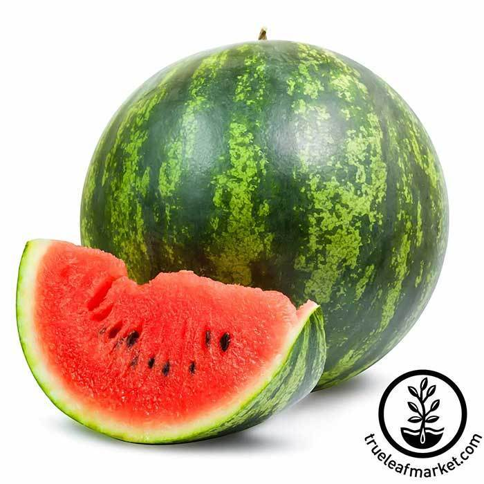 Watermelon - Shiny Boy Hybrid treated Garden Seed